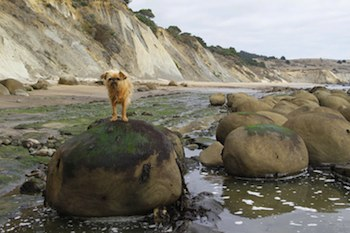 Dog on a Mendocino Beach