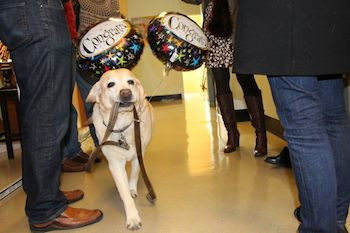 yellow lab with balloons