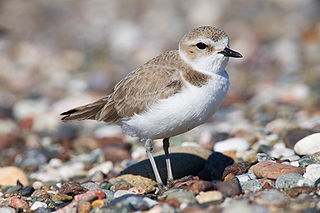 Snowy Plover Mike Baird Creative Commons