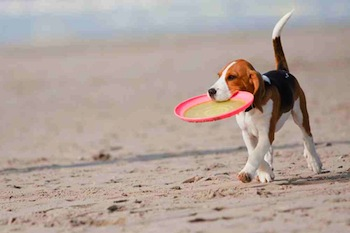 beagle on the beach with a frisbee