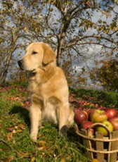 Dog in apple orchard