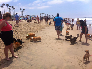 Corgis on Huntington Beach