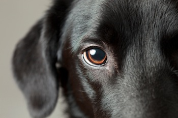 black Labs eye