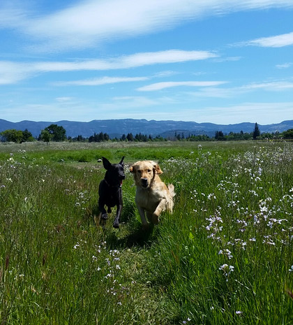Dogs stretching their legs in Napa Valley