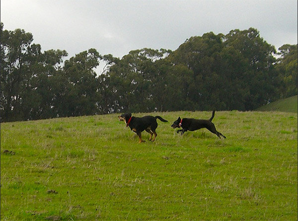 Dogs chasing each other at East Bay Regional Park
