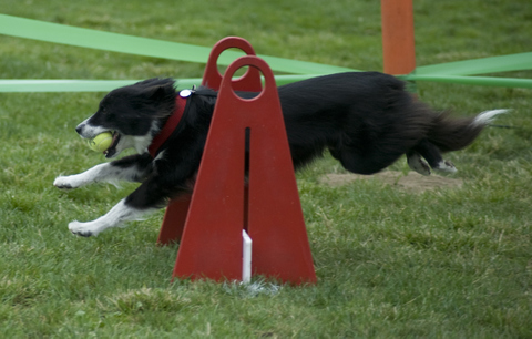Flyball competitor takes a jump at Bark in the Park San Jose 2010. Photo by Janet Fullwood