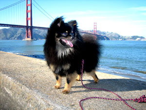 Golden Gate Bridge Dog