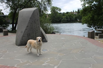 Yellow Lab In Front of Sacramento River