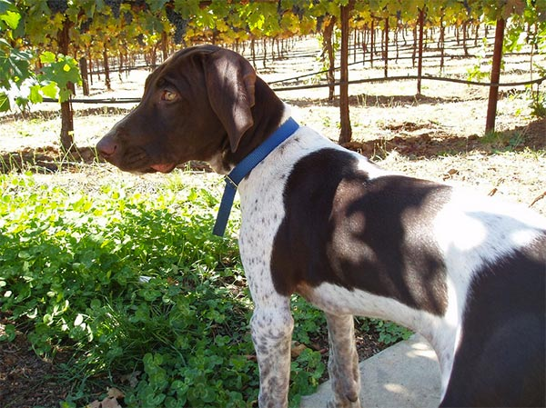 Dog exploring the vineyard