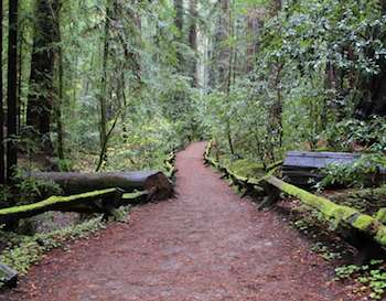Redwood Trees and a path