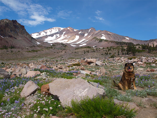 Dog enjoying the Shasta scenery
