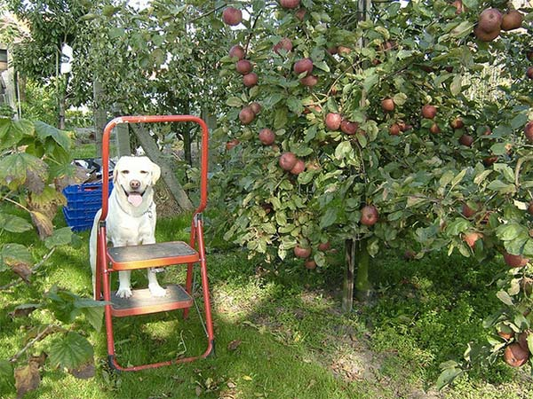 Apple picking dog