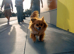 A Pomeranian struts her stuff on Santana Row