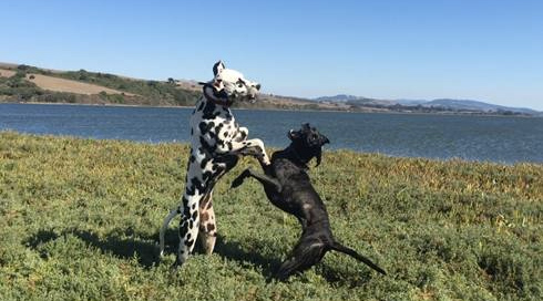 Dogs playing at Millerton Point