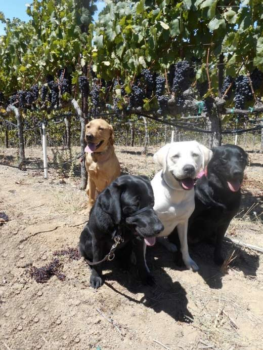 Dogs enjoying the vineyard