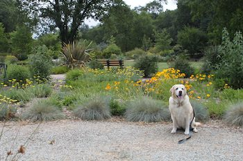 Yellow Lab in Botanical Garden