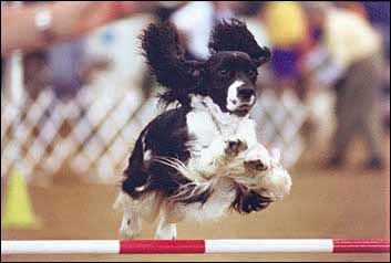 Agility dog takes a jump