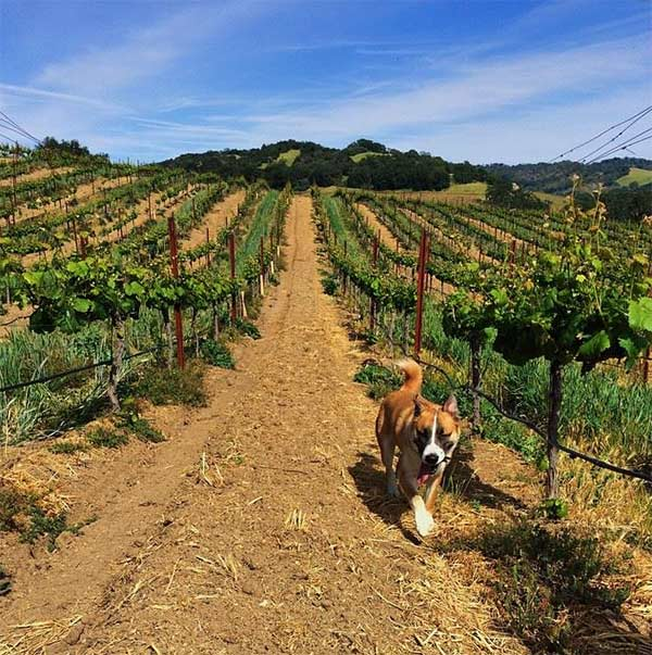 Dog in vineyard in Paso Robles