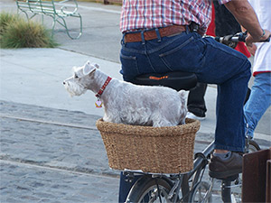 Dog on a bike in Petaluma