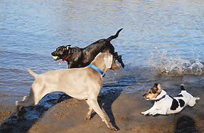 Dogs playing on beach