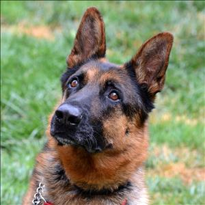 German Shepard rescue dog named Kingston poses for picture