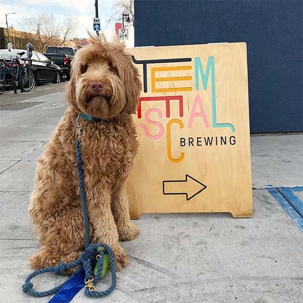 Henry the Labradoodle at Temescal Brewing