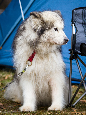 Sled dog at camp. Photo:Cloudtail (CC)