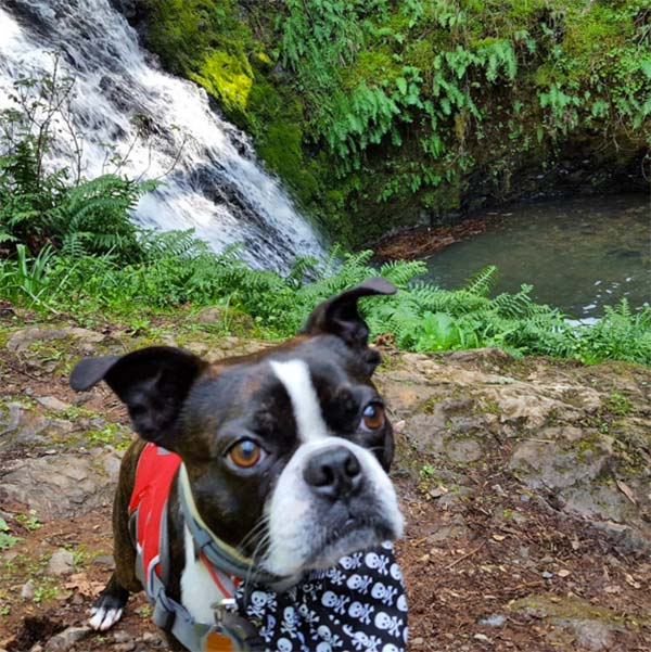 Chico at Cataract Falls. <br/>Photo Credit: Instagram/chico_the_boston_terrier