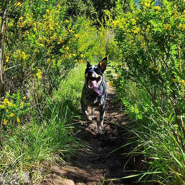 Sammie through the wild flowers, Garland Ranch. <br/>Photo Credit: acd_sammie_lucy