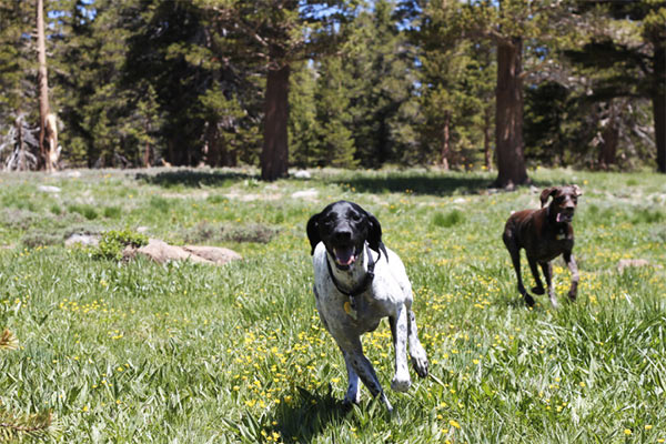 Frolicking through the field, Carson Pass. Photo Credit: Jonathan Fox (CC)