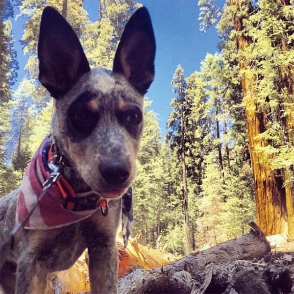 SeaBass loves the Sequoias! Photo Credit: Megan Reehill Watson
