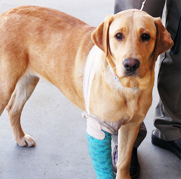 Ginger on the mend. Photo: Monterey Bay Labrador Retriever Rescue