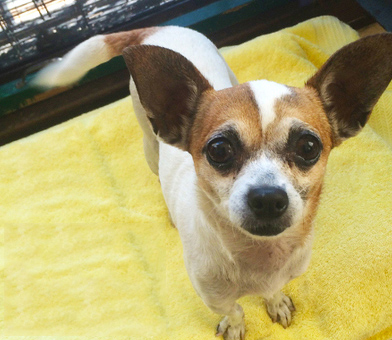 Photo: Susie - Muttville Senior Dog Rescue