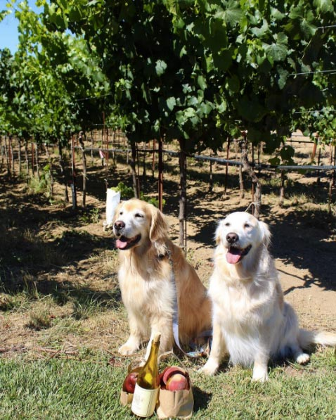 Navarro Vineyards, Mendocino County. Photo Credit: @goldens_flutie_ferris