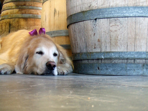 Wine dog in action. Photo Credit: SkyWideDesign (CC)