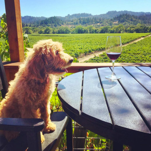 Ziggy in Healdsburg. Photo Credit: @rocky_romero