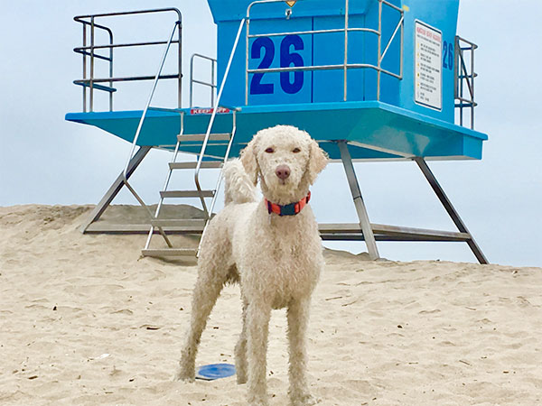 Mochi at Huntington Beach Dog Beach. <br/>  Photo Credit: @mochi.s.doodle