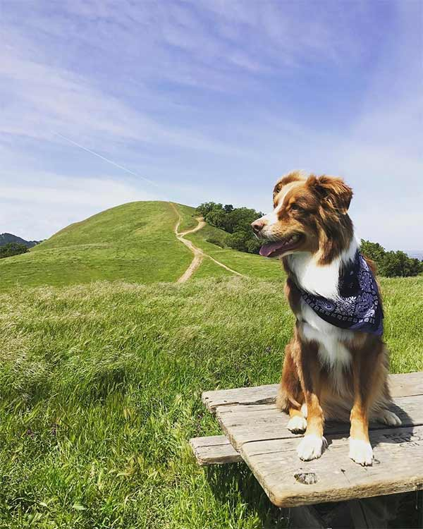 Macaroni exploring Pleasanton Ridge Regional Park. <br/>Photo Credit: @pennandpaww