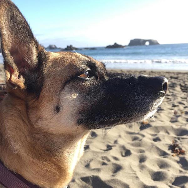 Data, a 6-year-old rescue pup exploring Sonoma Coast State Park