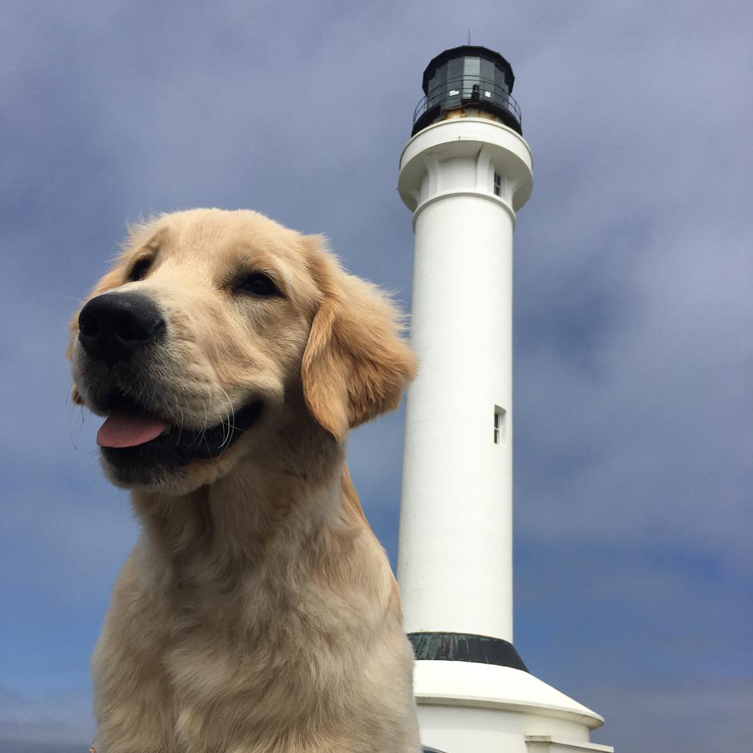Teagan at Point Arena Lighthouse <br/> Photo Credit: @retired_goldenretriever