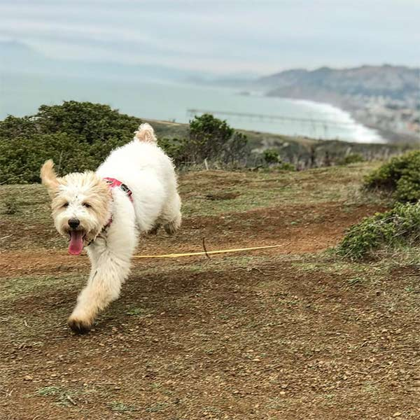 Poppy at Mori Point - Photo Credit: @poppy_brittany_spoodle