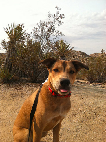 Abby at Joshua Tree National Park <br/> Photo Credit: jesslynncline (CC)