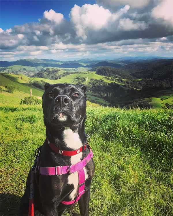 Pretty Pittie at Sibley Volcanic Regional Preserve - Photo Credit: @ac_sivs