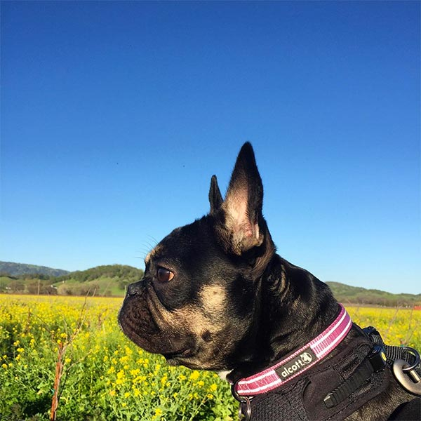 Coco at BackRoad Vines <br/> Photo Credit: @coco.bean.frenchie