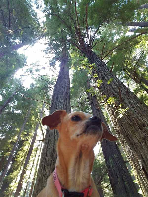 Riley and the CA redwoods - Photo Credit: Len Riley