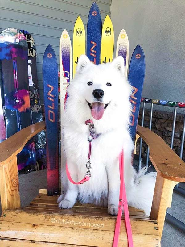 Hey dude! Photo Credit: @nubethesamoyed