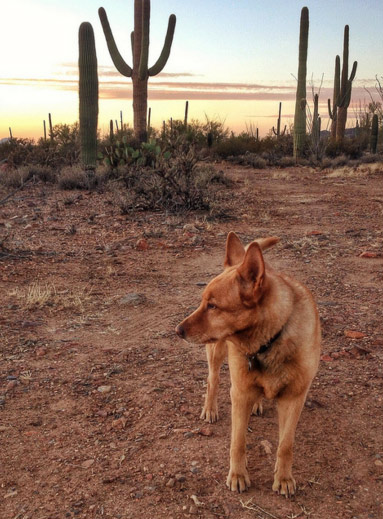 Desert Dog. Photo Credit: Ken Bosma (CC)