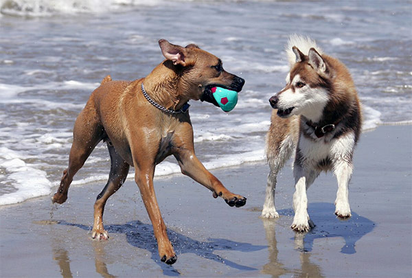 Dogs playing at Dog Beach, Huntington Beach