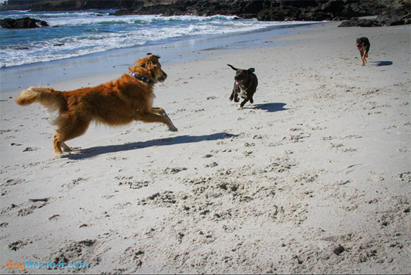 Dogs chasing on Carmel Beach