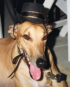 Elvis the greyhound